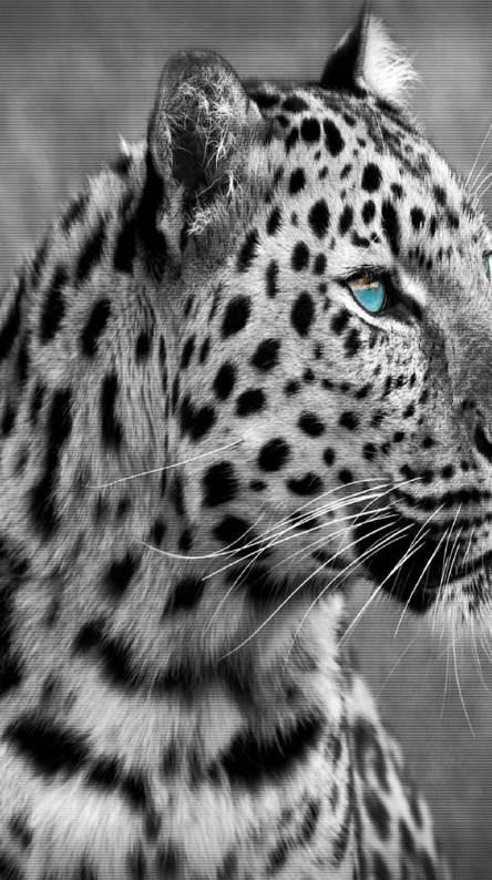 Cool tiger