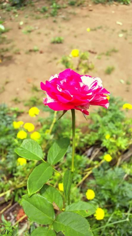 Roce flower