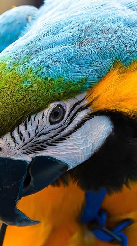 Blue n Yellow Macaw