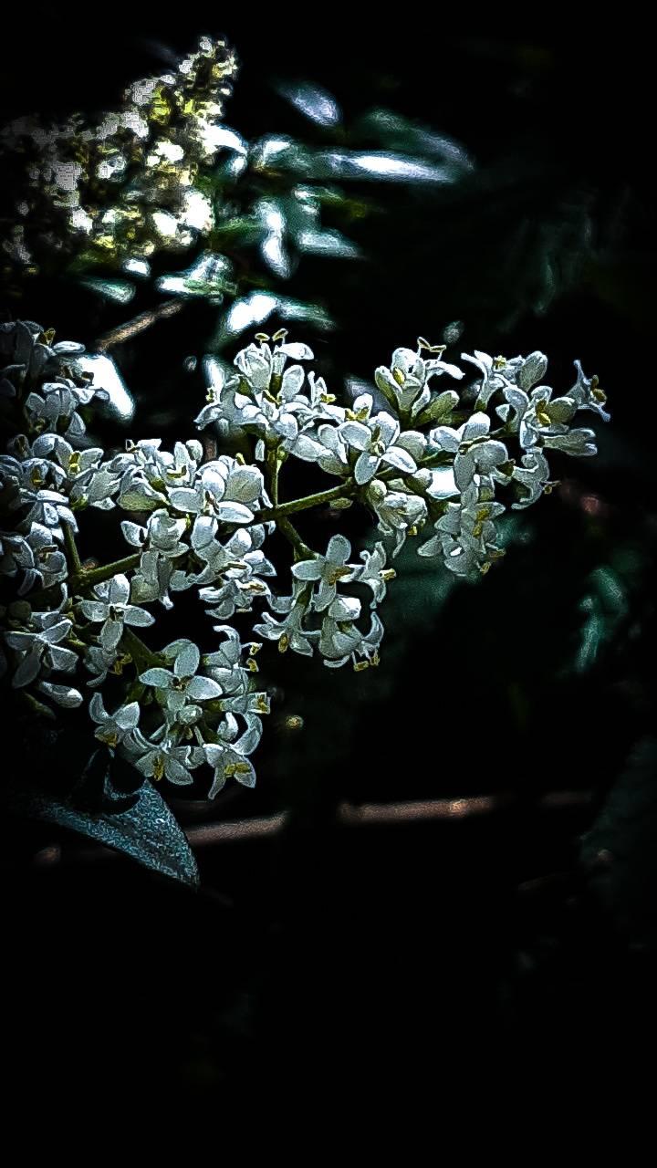 White lilic