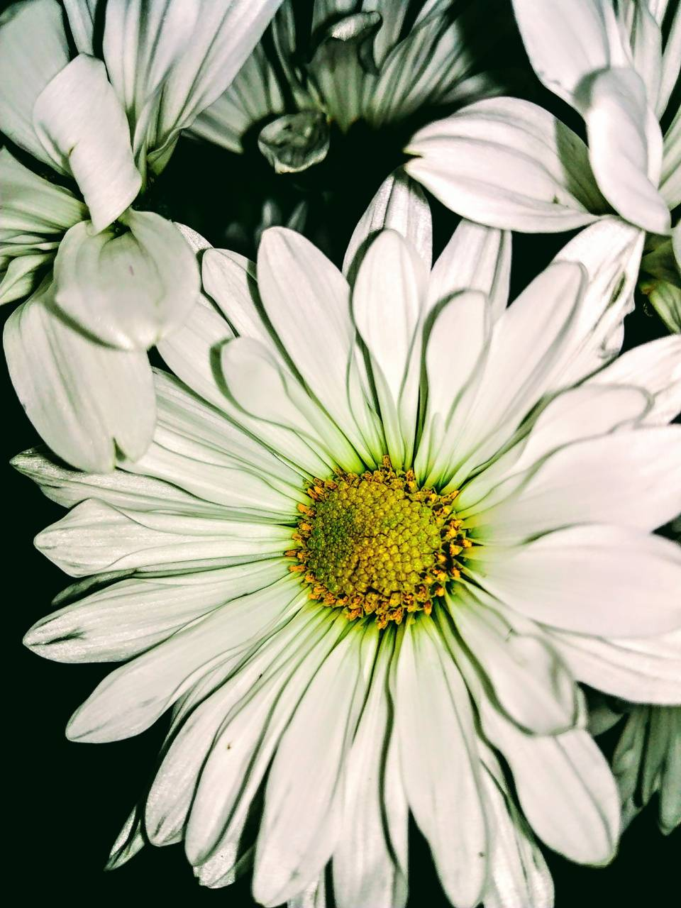 White Daisy Wallpaper By Kacileigh247 Bc Free On Zedge