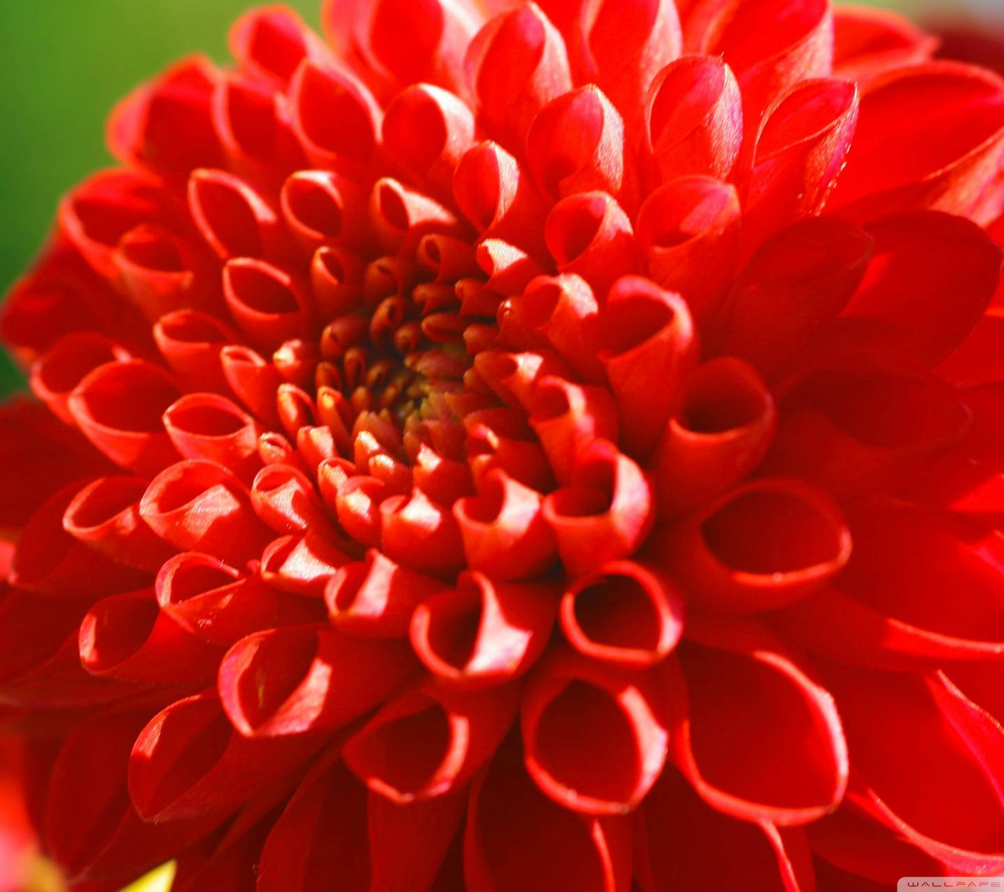Red Cute Flover