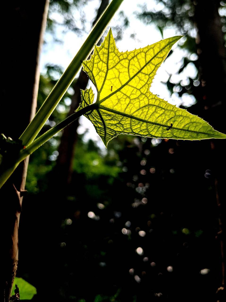 Amoled Leaf
