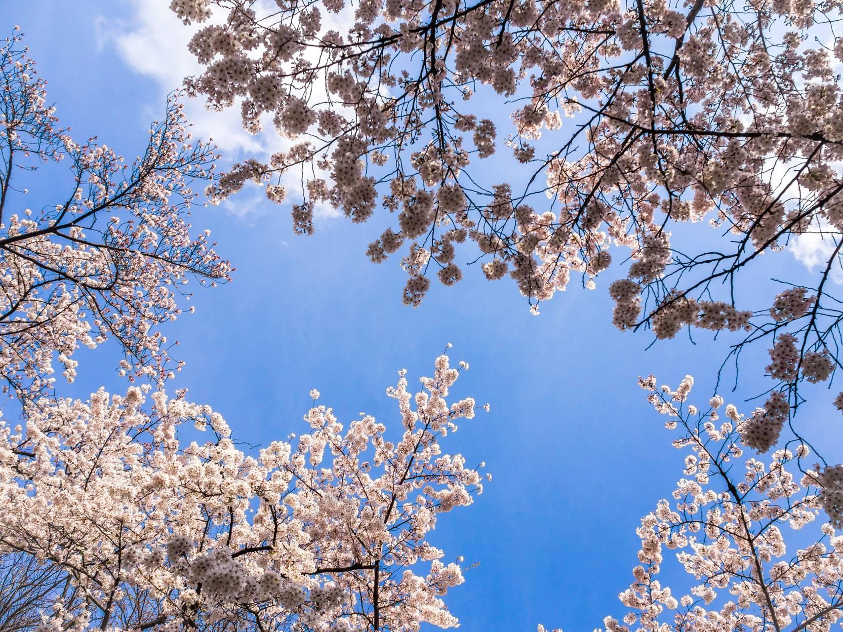 blossoms sky