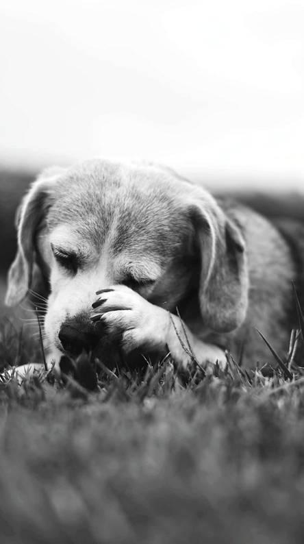 Beagle Mirah