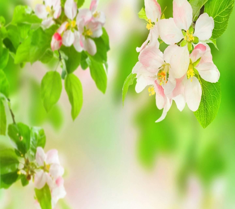 Appel Blossom