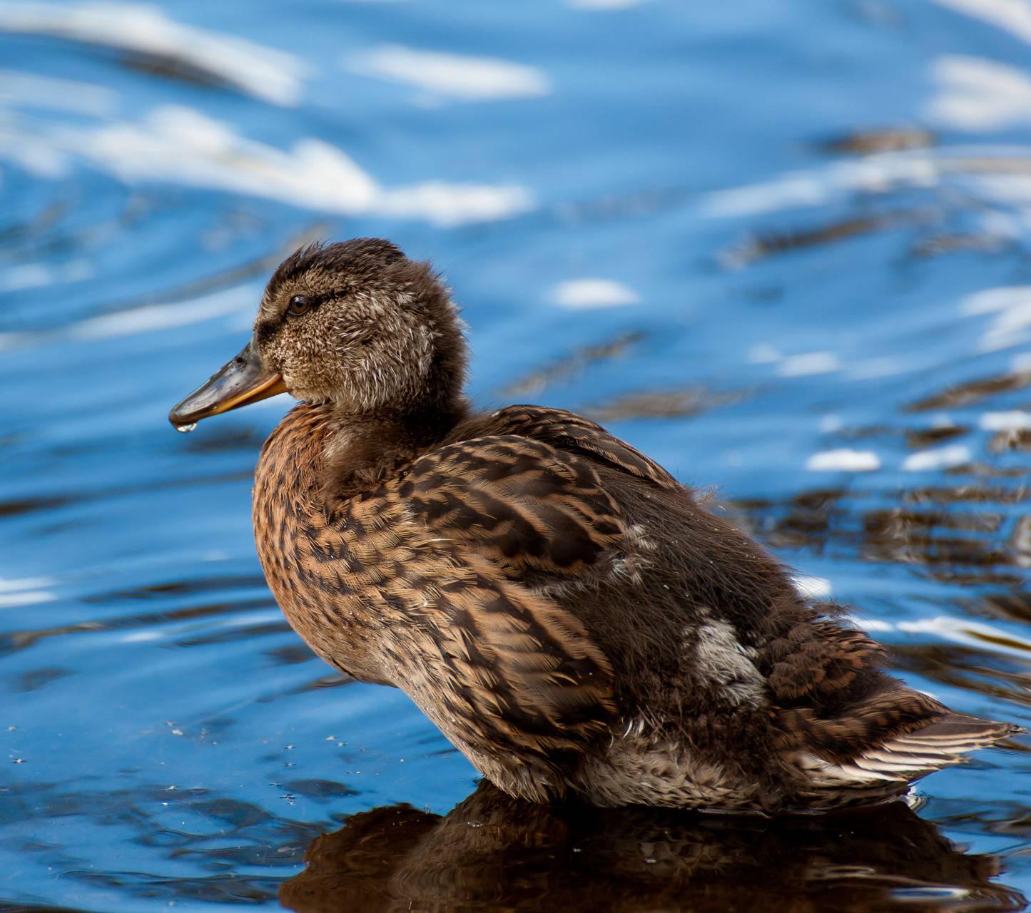 Wild duckling
