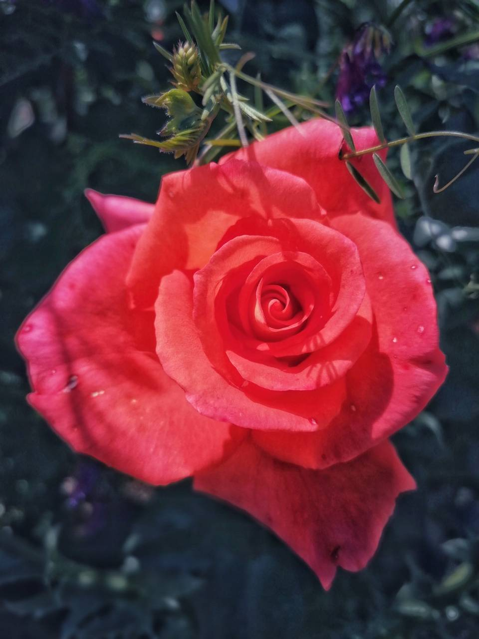 Rose Mr Lincoln