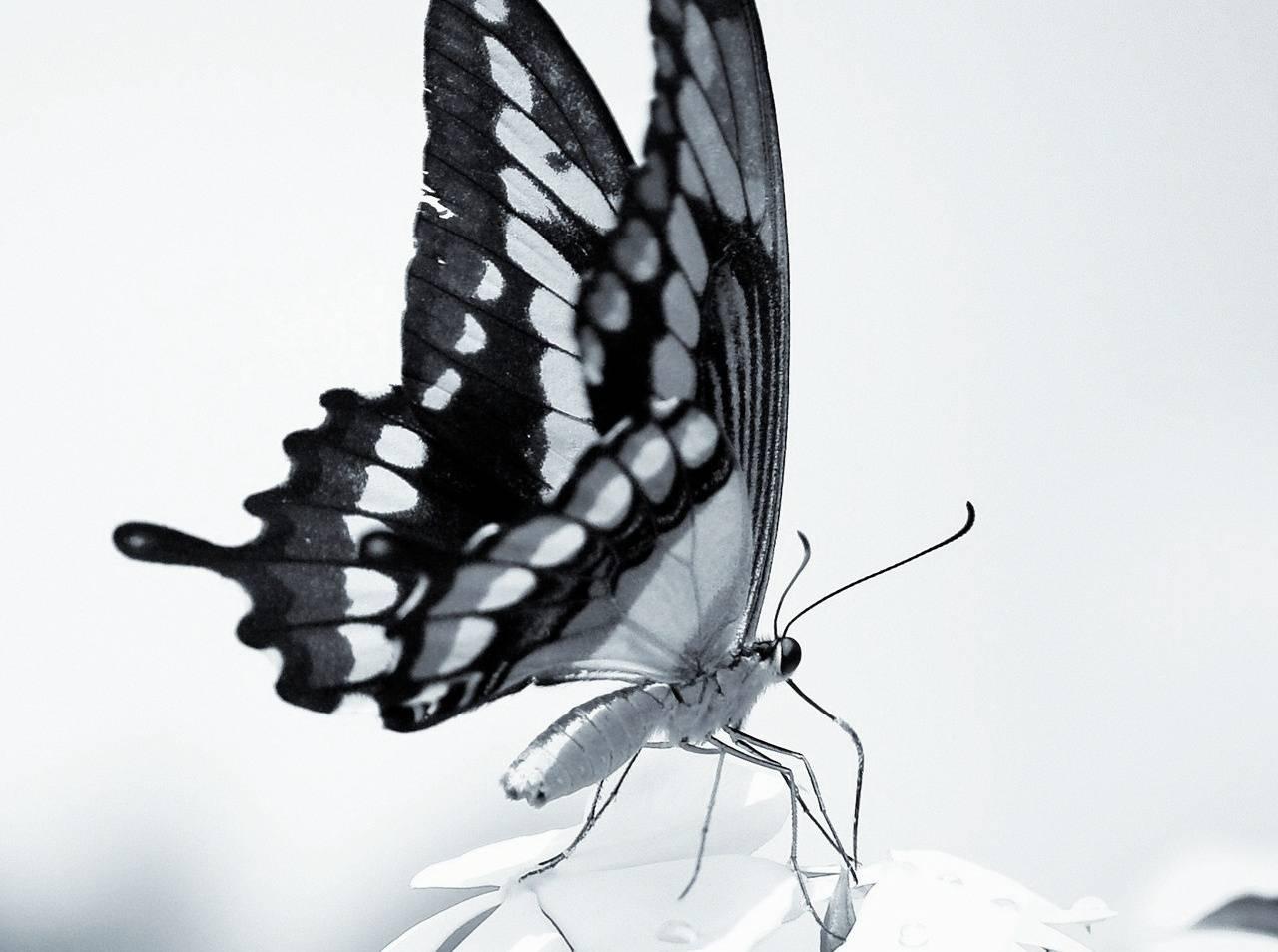 Bw Butterfly