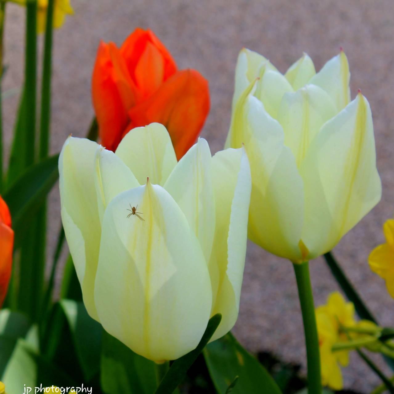 Spider on Tulip