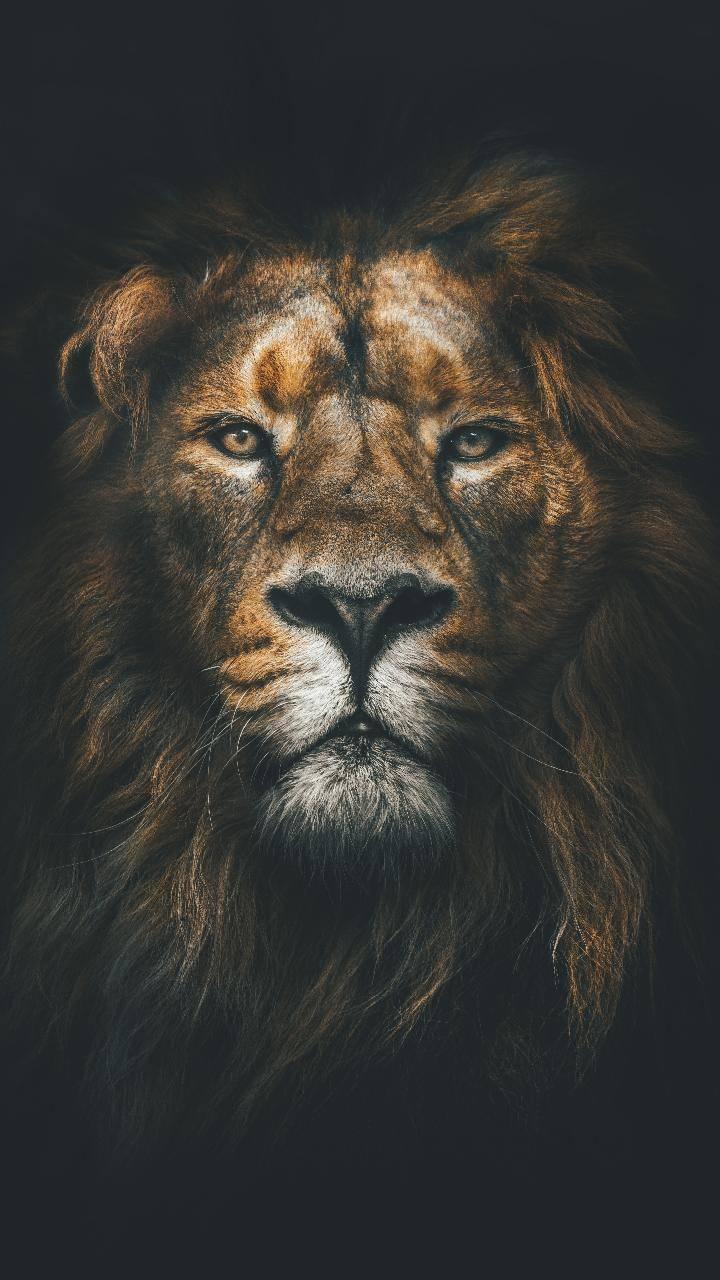 Lion Wallpaper By Rmz93 Db Free On Zedge