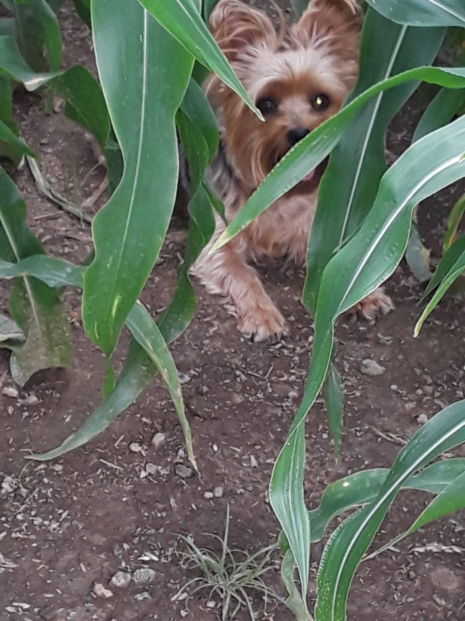 Hiding in the corn