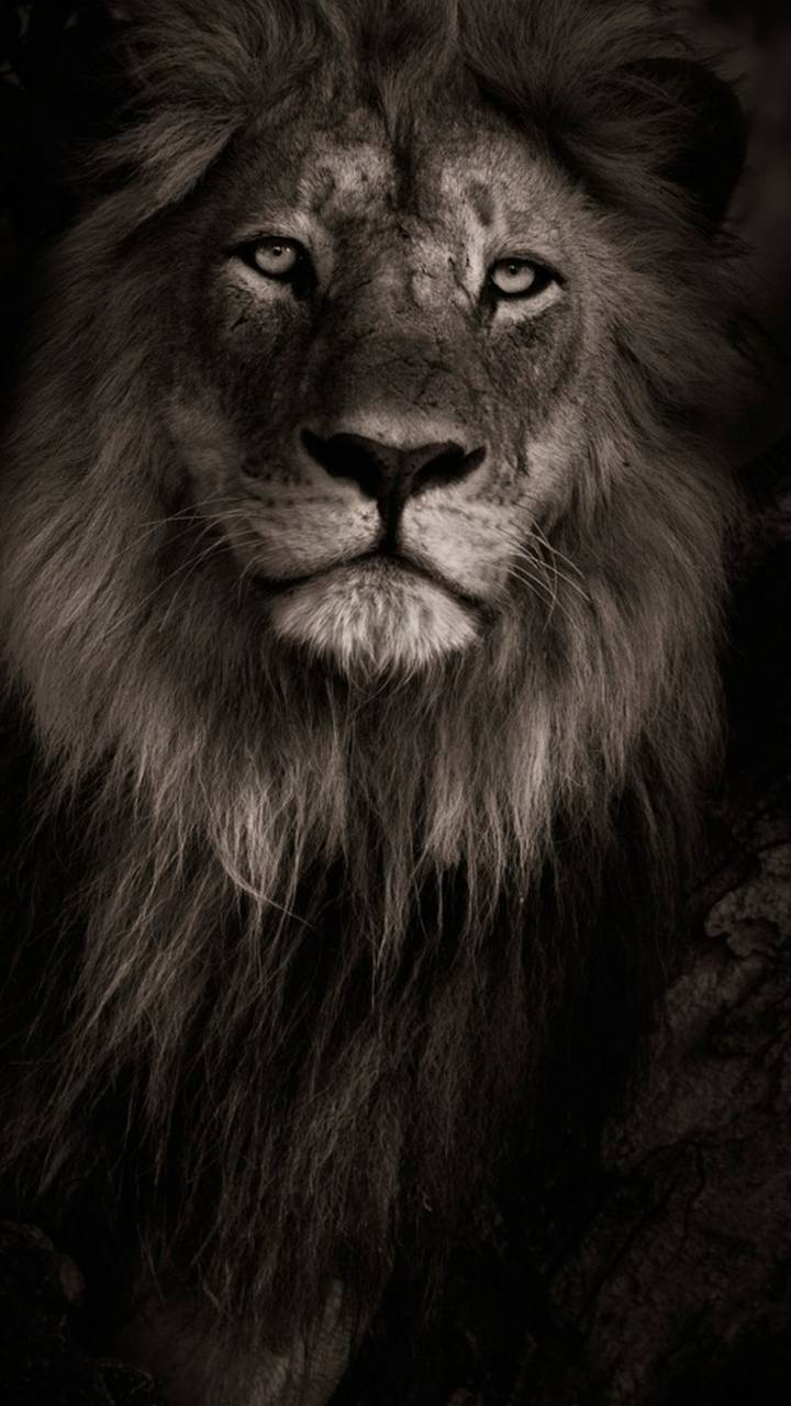 Black Lion Wallpaper By Hende09 Fa Free On Zedge