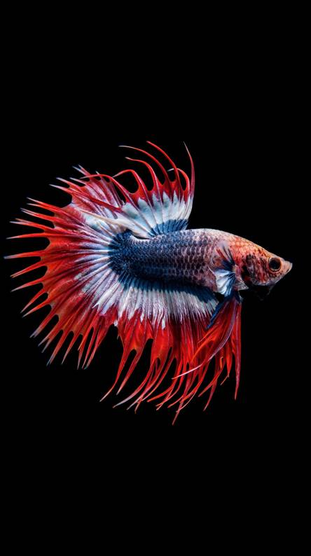 Red Fish Wallpapers