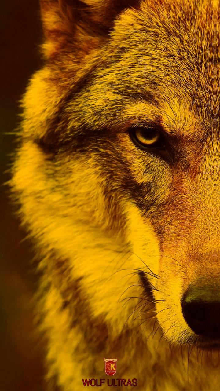 Wolf ultras
