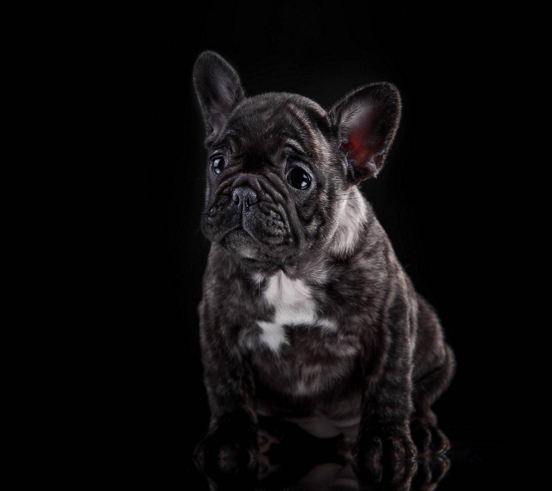 French Bulldog Puppy Wallpaper By Abej666 B1 Free On Zedge
