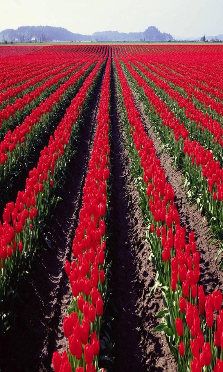 Red Tulips Farm