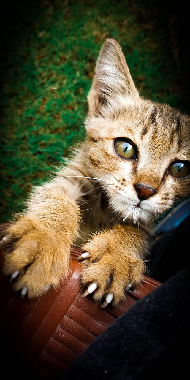 cat leapord