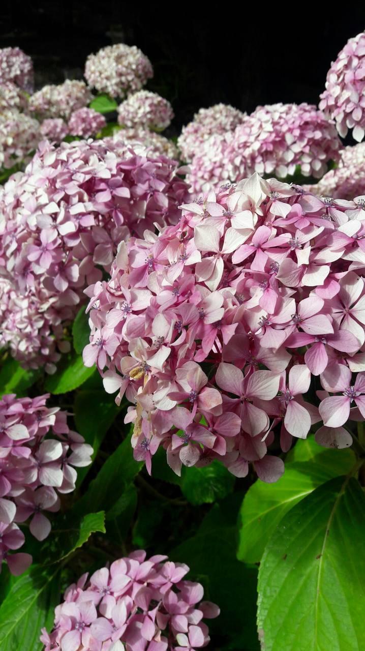 Pinks Hydrangeas