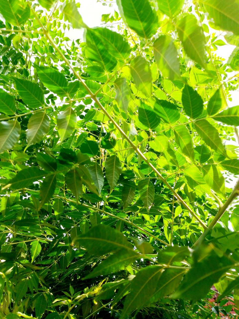 Chinese Neem leaf