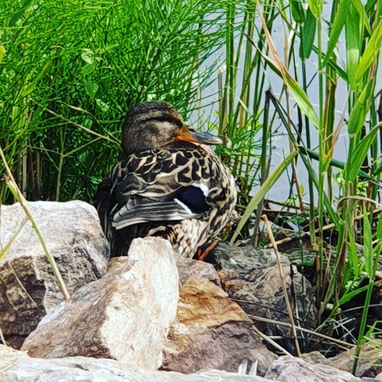 relaxing duck