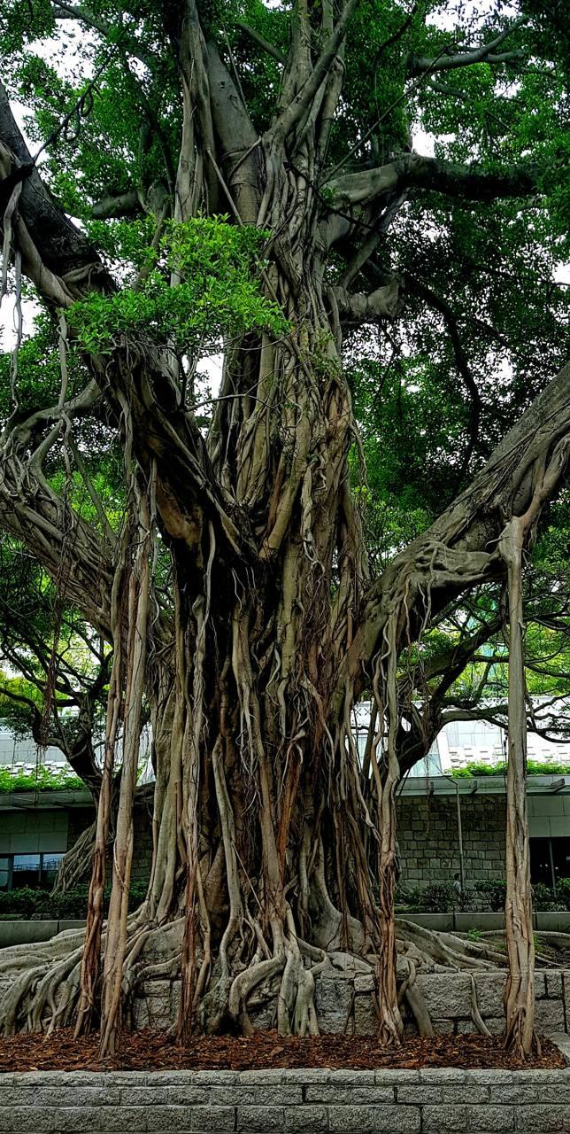 Hong kong tree
