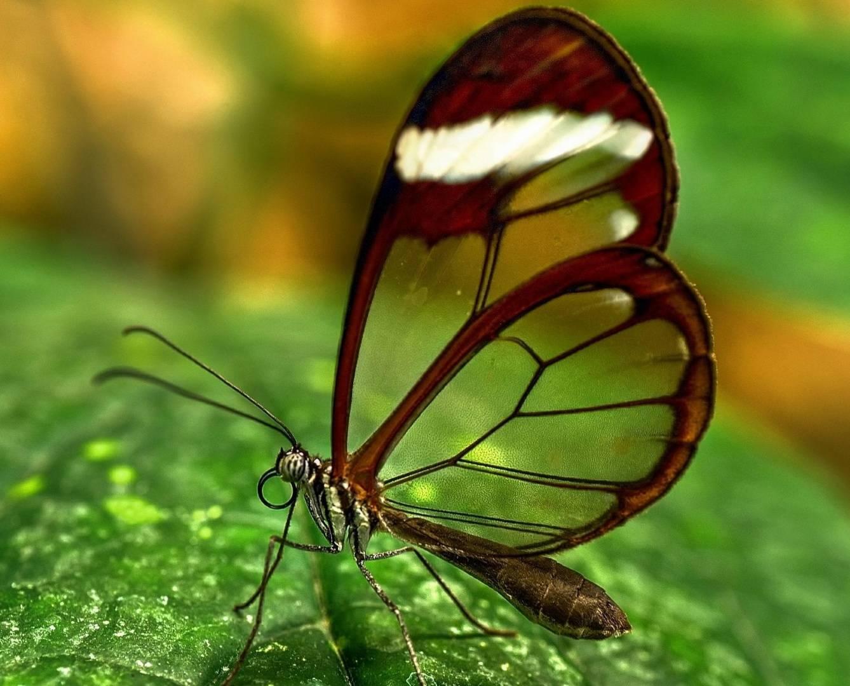 Butterfly Transparen