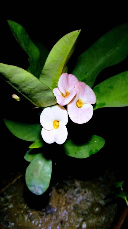 Euphorbia font