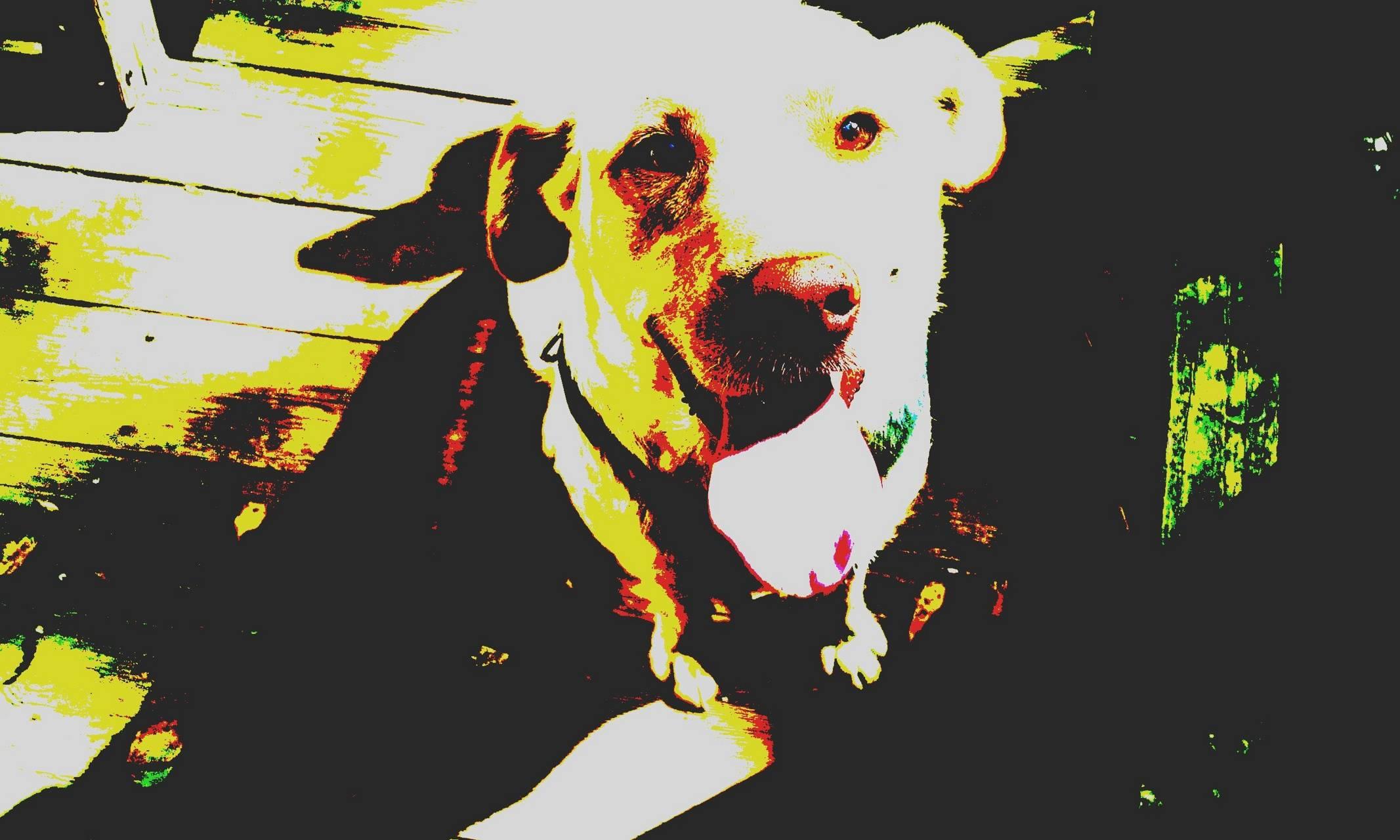 My lab pup
