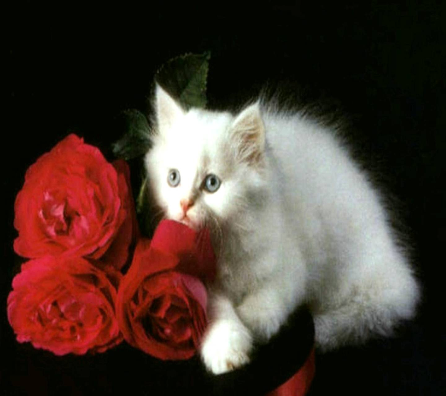 Cats Roses