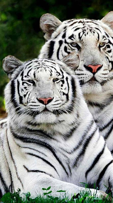 White Tigers Wallpapers Free By Zedge