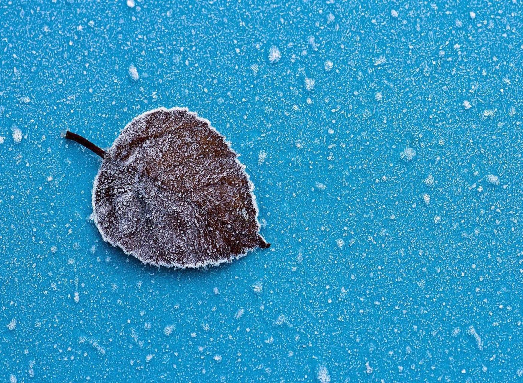 Lonely snowy leaf