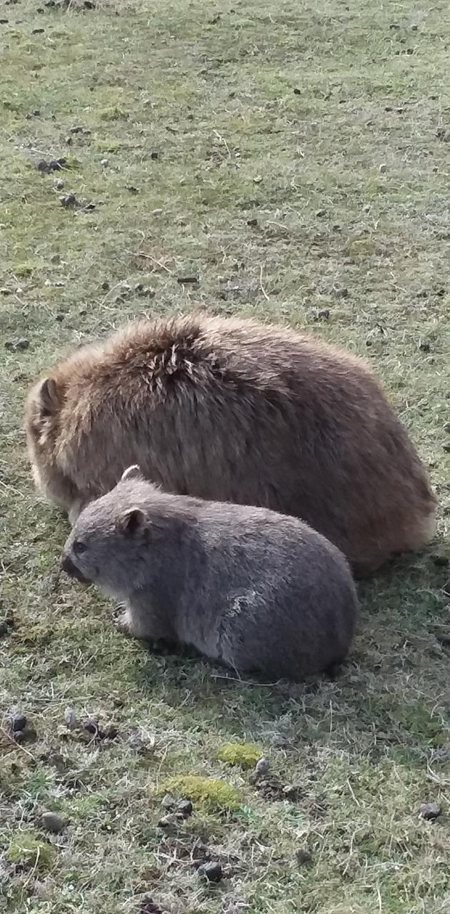 Mom and baby wombat