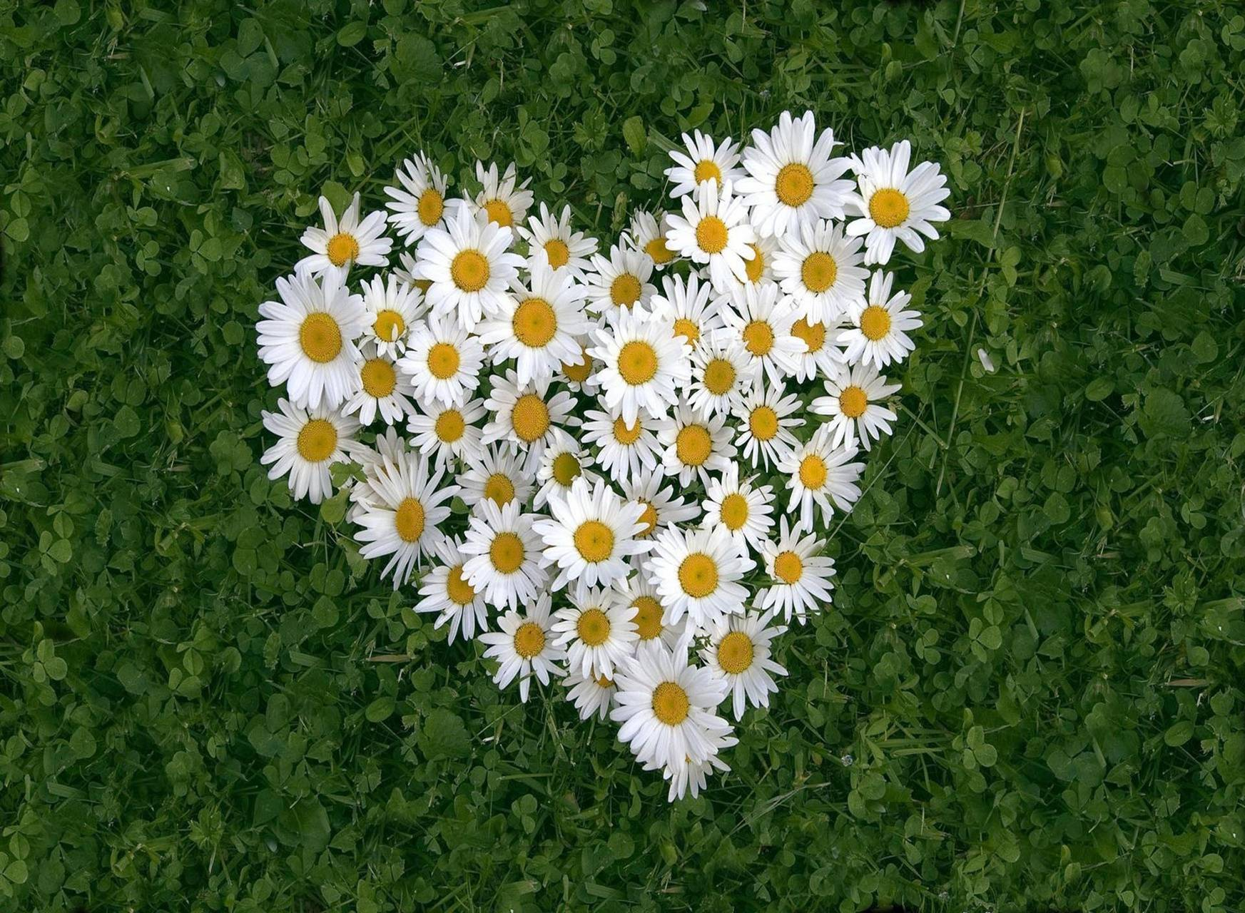 White daisy of luv