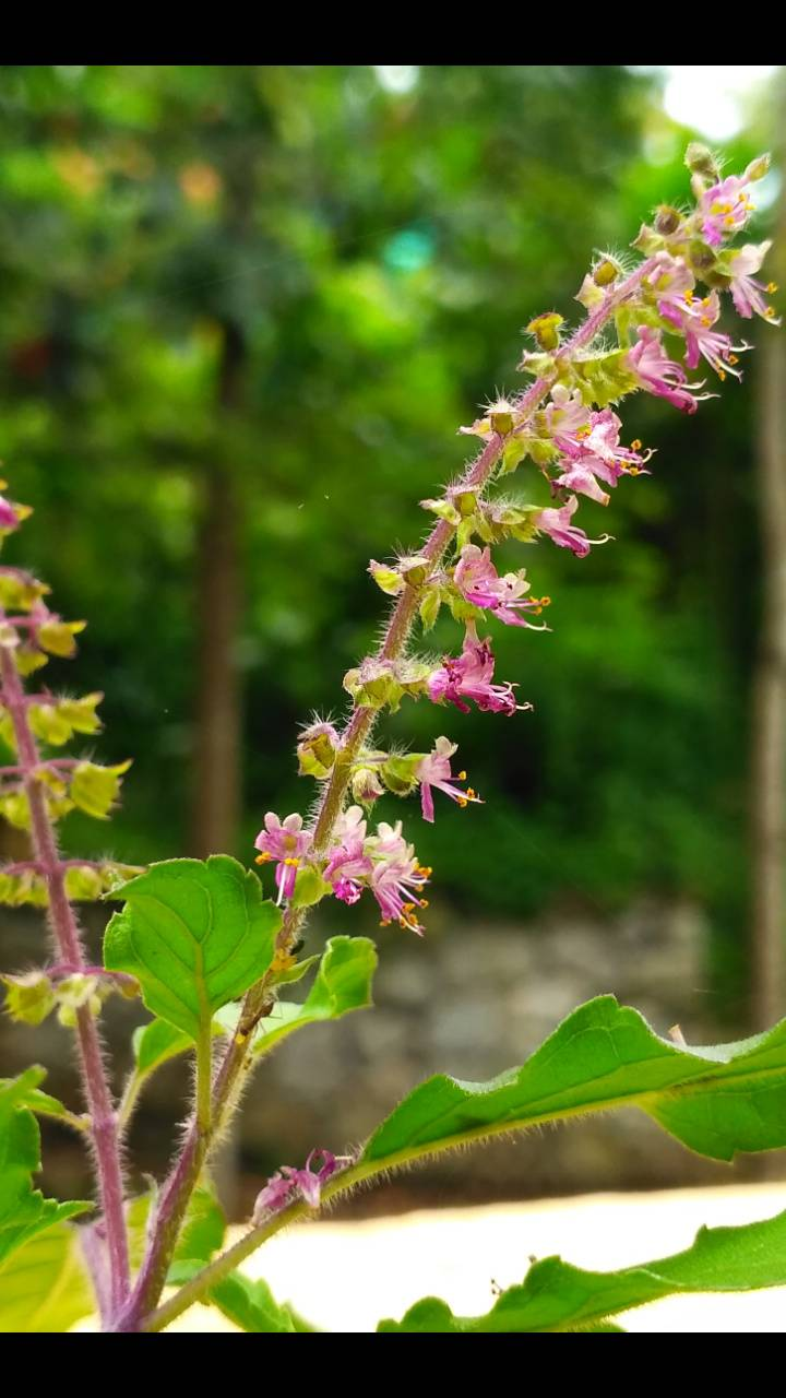 Thulasi flower