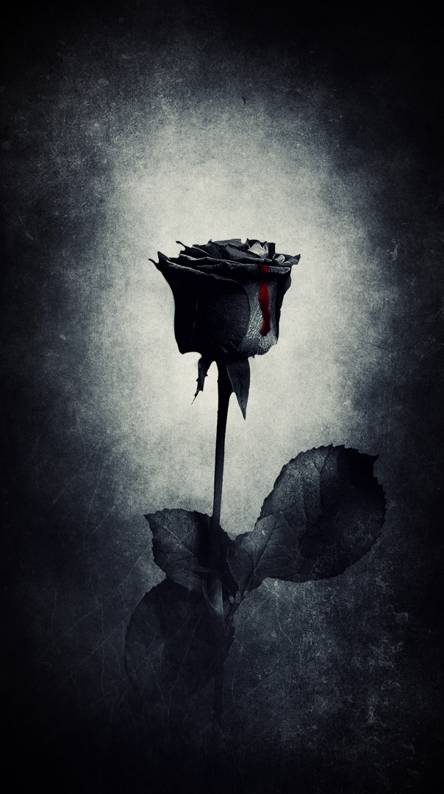 Black Roses Wallpapers Free By Zedge