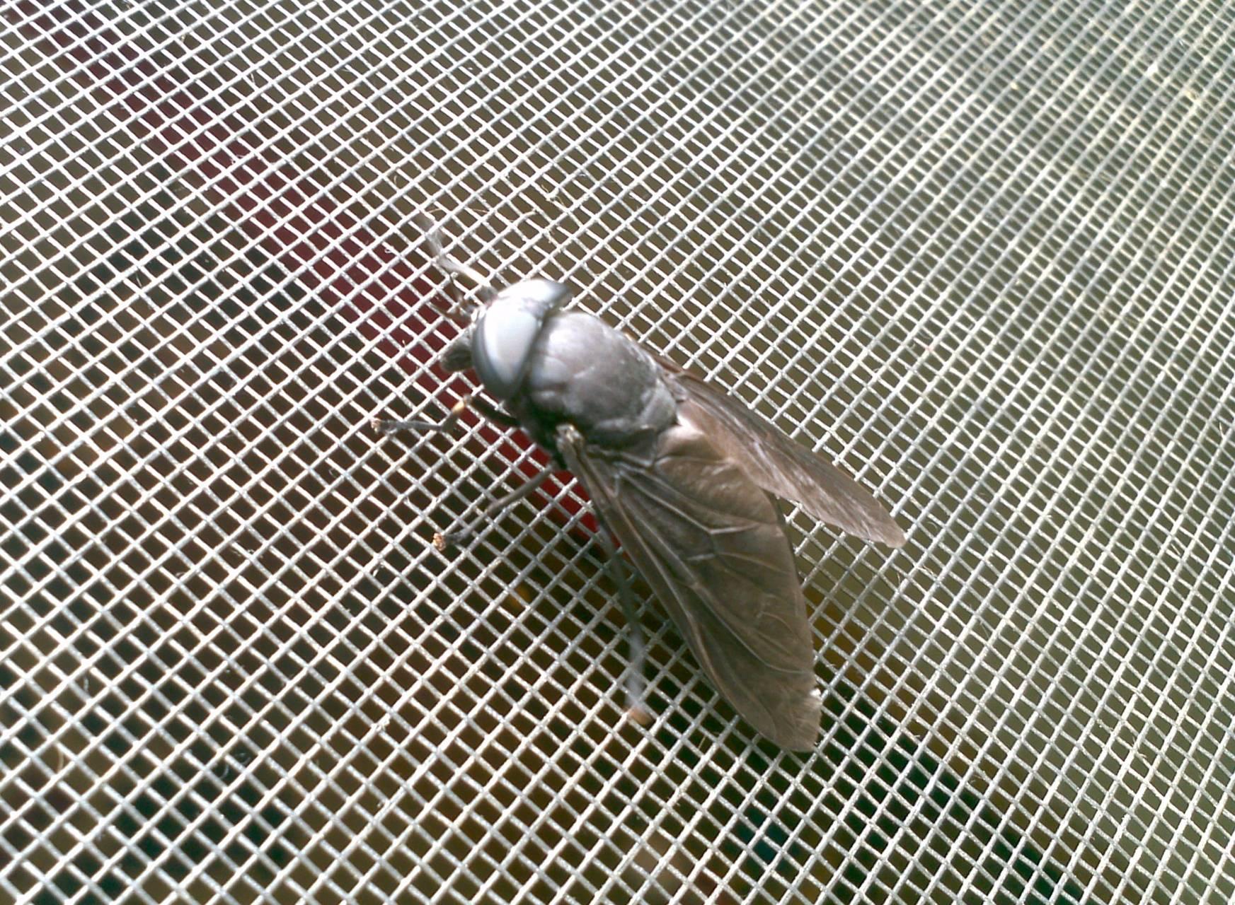 Bigfly