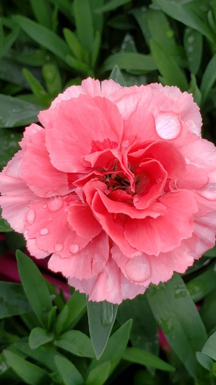 Sweetheart Carnation