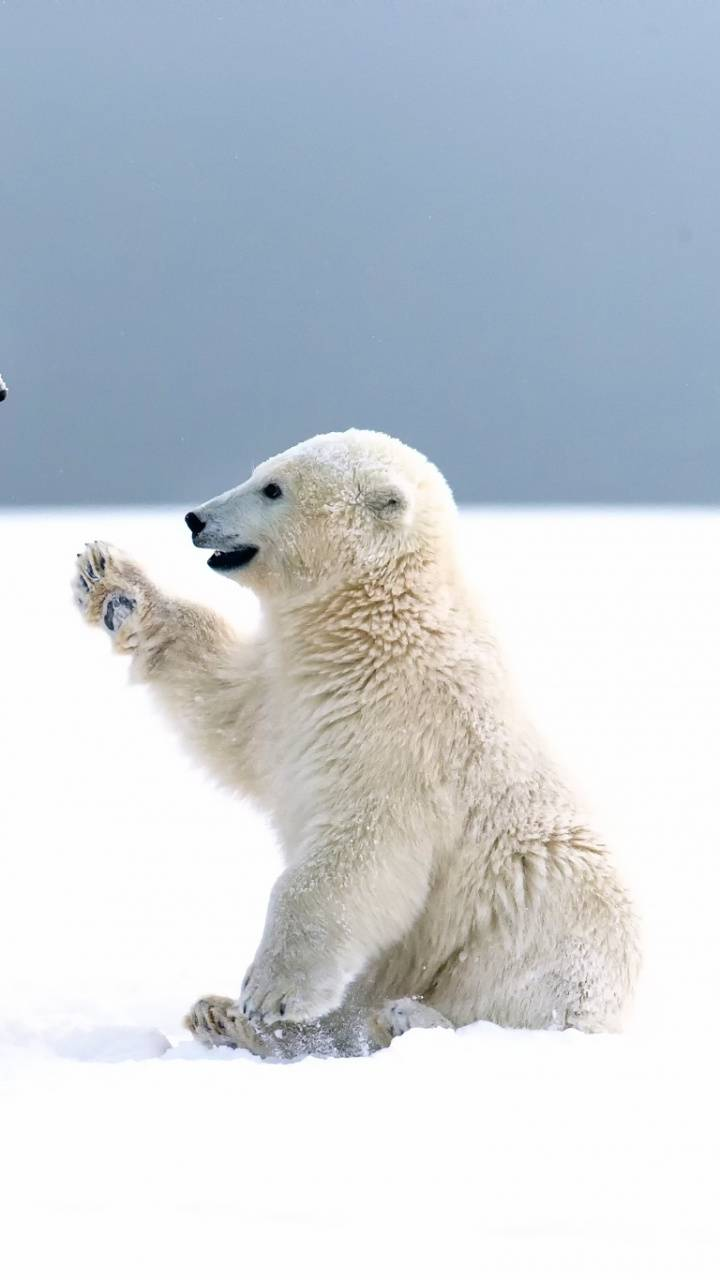 Polar Bear Wallpaper By Jegeccskeee 1c Free On Zedge