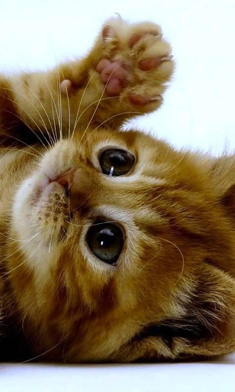 Cuddle Kitten
