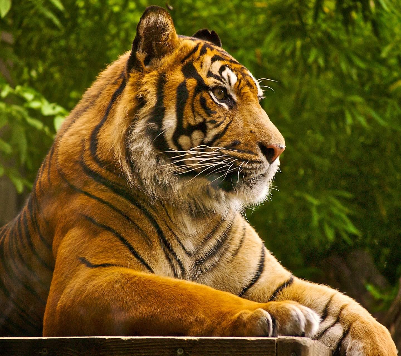 Tigre13