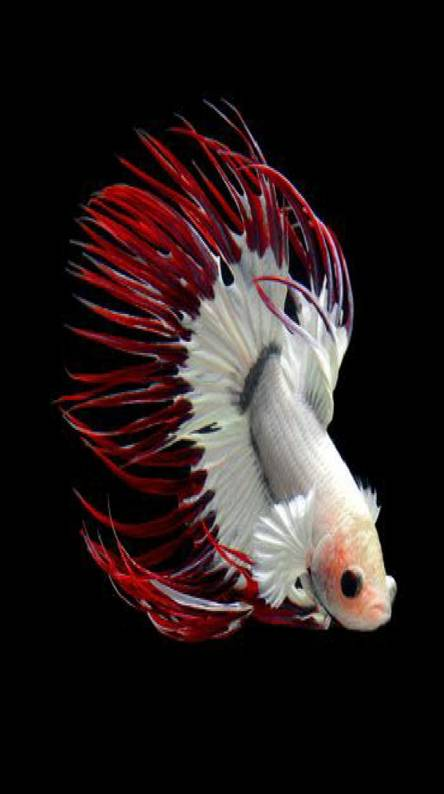 Red and white Beta