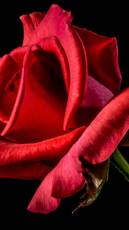 Red Rose Love Symbol Wallpapers Free By Zedge