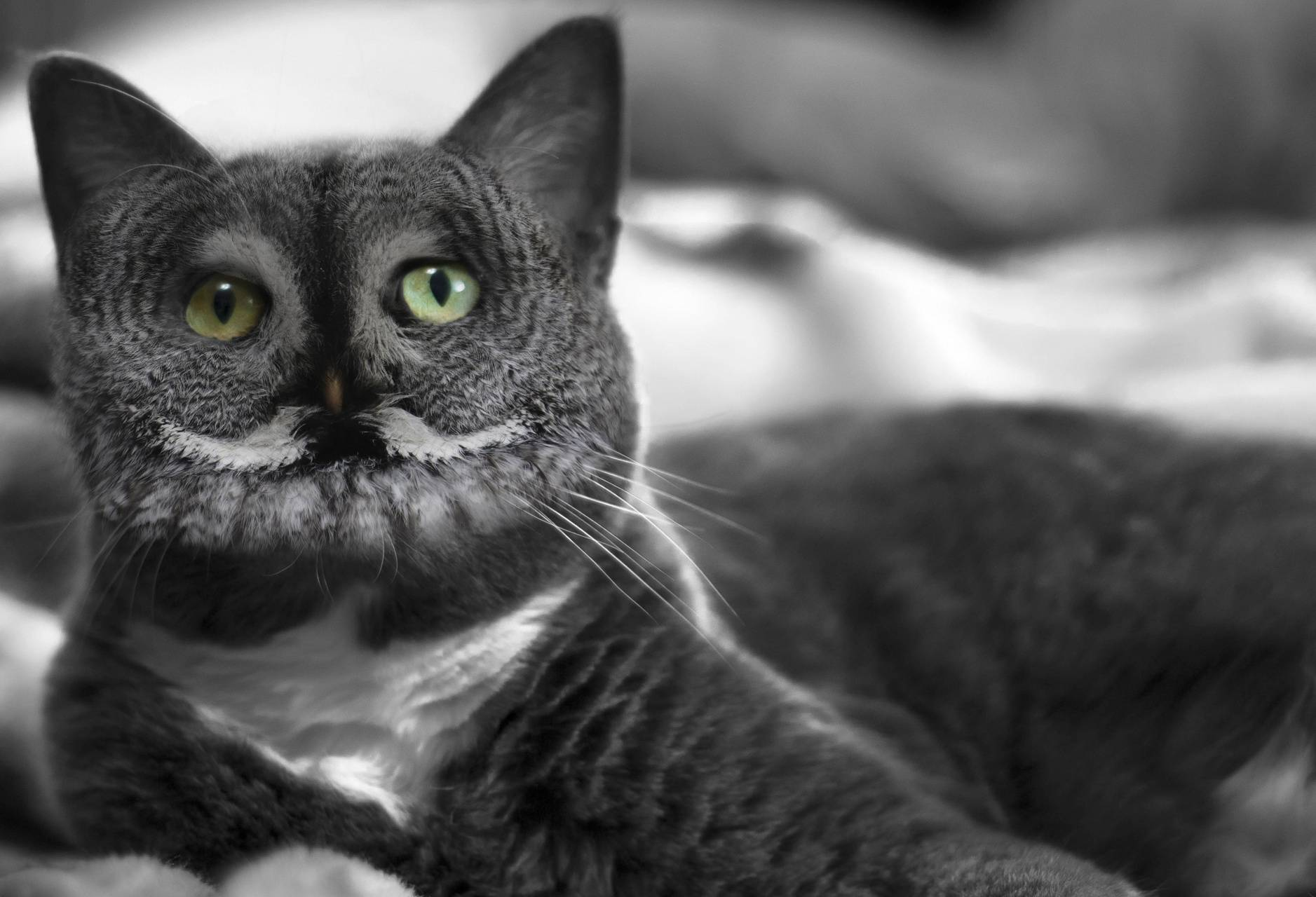 Grey Meowl