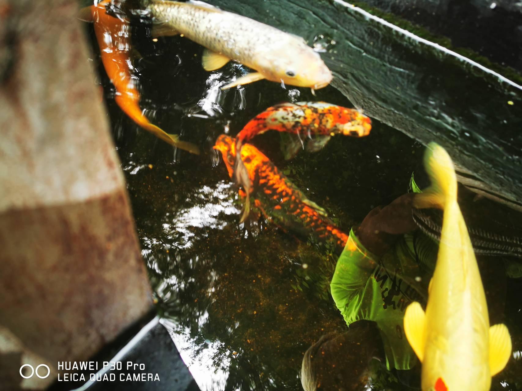 Khoi Fish
