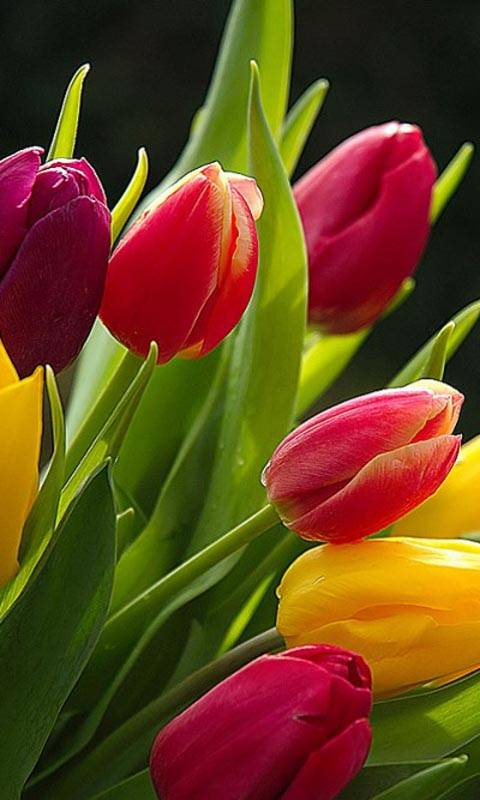 color ful tulips