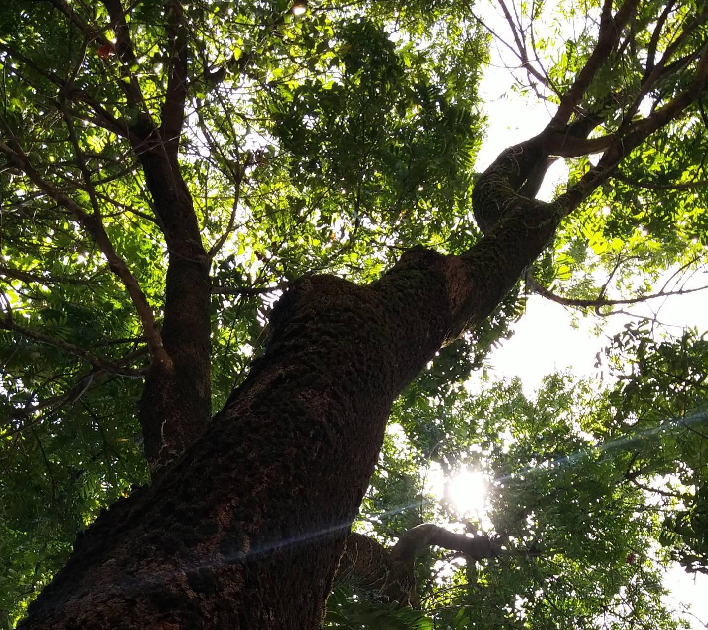 Centenary tree
