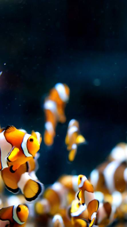 Clown Fish Wallpapers Free By Zedge