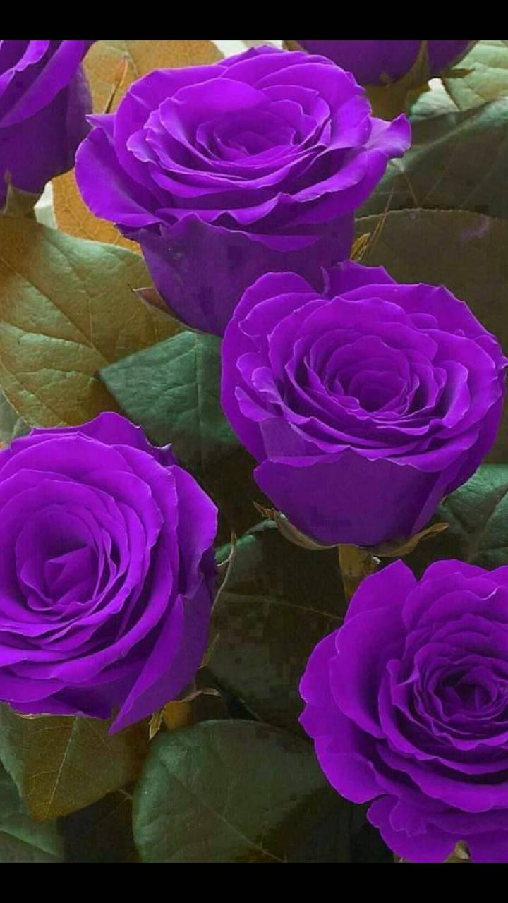 Pretty Purple Roses