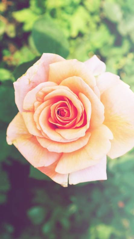 Pink roses flowers wallpapers free by zedge pink rose flower mightylinksfo